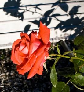 ...en rose er...